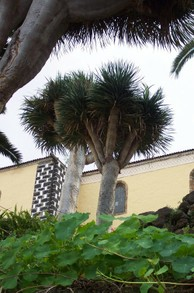 La Orotava Dragon Tree