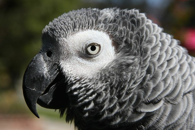 The Beautiful African Grey
