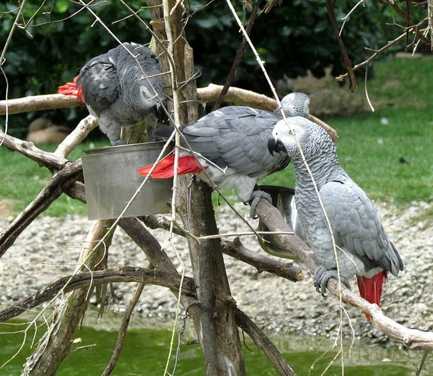 Talkative African Grey Parrots