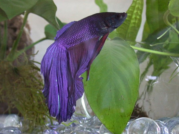Betta Fish are Gorgeous Creatures