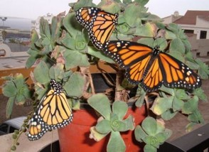 newly emerged Monarchs