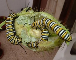 Monarch caterpillars feeding on the seed-pod of a Swan Plant