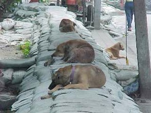 Sleeping Sio Dogs