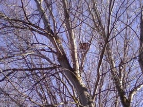 A Nest  Built High in the Tree Are Easy to See in Trees Without Leaves