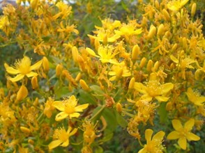 Canary Island's St John's Wort in full bloom