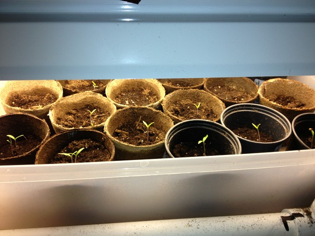Tomato plants started from seeds