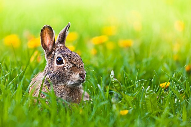A rabbit captured through a DSLR camera. Notice how the rabbit comes out clear in contrast to the foreground and background.