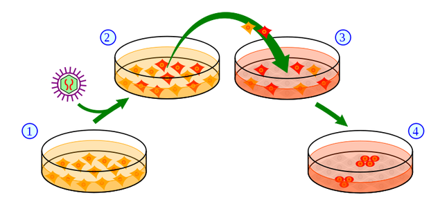 Very basic scheme showing how induced pluripotent stem cells are created
