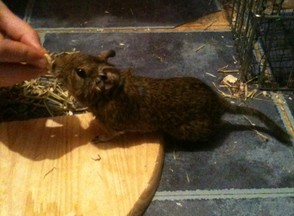 A Very Friendly Degu