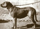 Cordoba Fighting Dog