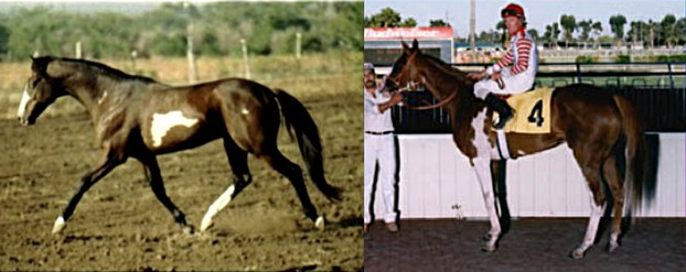 Overo Pinto Thoroughbreds
