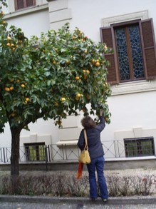 citrus trees in garden of Convent Emilia de Vialar