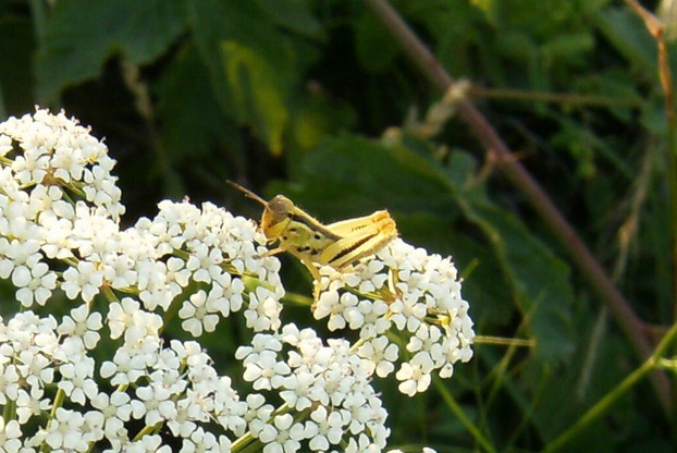 Grasshopper on Queen Anne's Lace