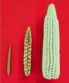 Teosinte, Hybrid, and Zea mays (Maize)