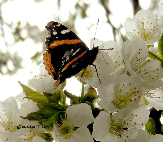 Red Admiral butterfly on migration in southern Ontario, April 2012