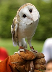 Barn Owl [cropped]