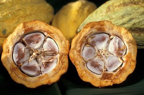 Cocoa Beans in Pod