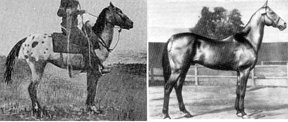Comparison of Appaloosa and Akhal Teke stallions from the same era
