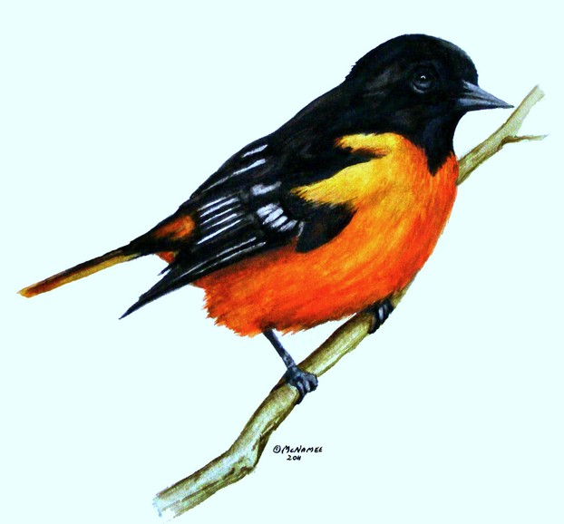 Baltimore Oriole painted by Terry McNamee © 2011