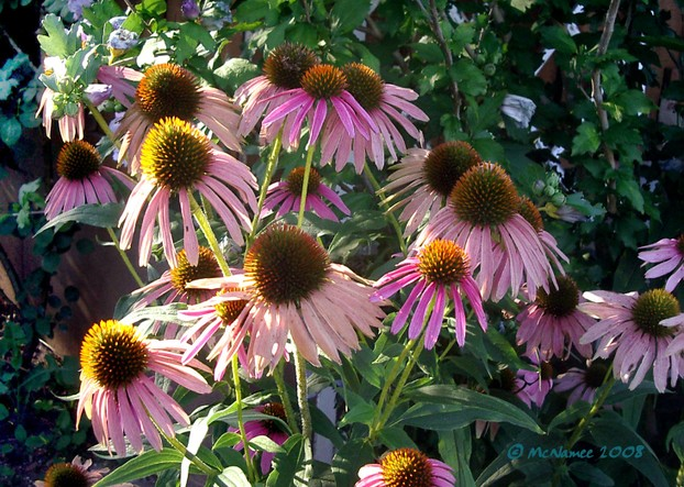 Purple coneflowers in Ontario