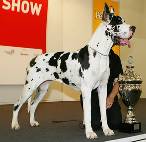 Correctly marked harlequin Great Dane