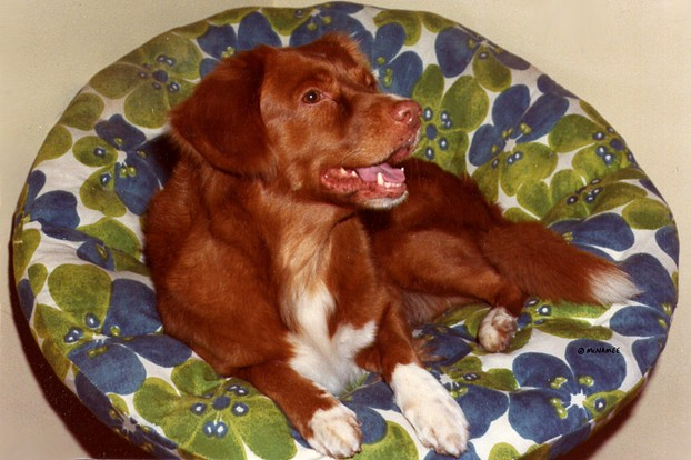 Champion Nova Scotia Duck Tolling Retriever: red with Irish spotting, ticking on paws, amber eyes, pink nose.