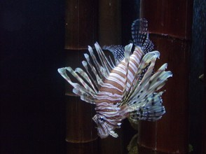 An Invasive Lion Fish