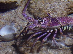 A Purple Spiny Lobster