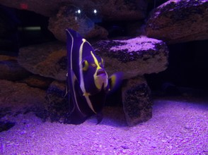 A Black and Purple Fish
