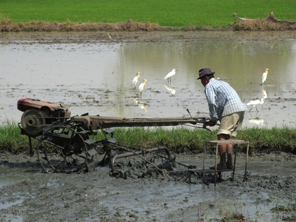 Working in a Rice Field