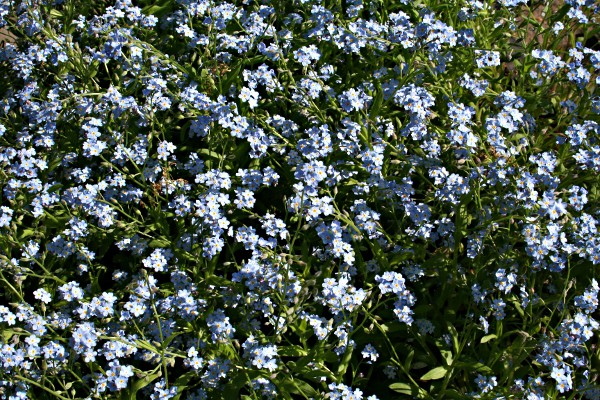 What are these flowers called in English? Update: They are forget-me-nots.