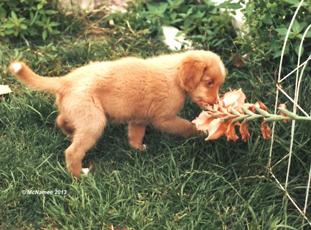 Most puppies can't resist chewing on flowers.