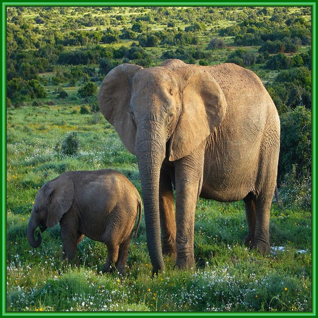 African Elephant in Addo National Park, South Africa
