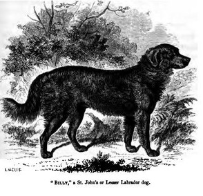 An early St. John's Water Dog named Billy