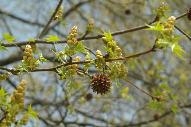 Sweet Gum Flowers