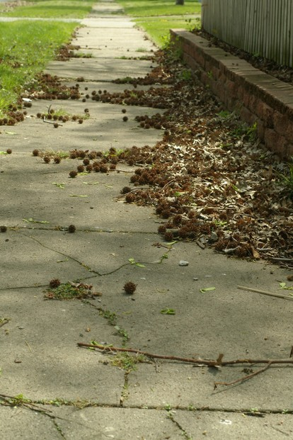 Sweet Gum Balls on Sidewalk