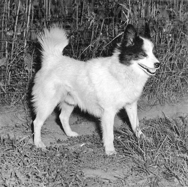 One of the last registered Tahltan Bear Dogs. Owned and bred by Harriet Morgan of Ontario.
