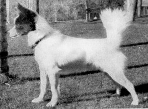 A mostly white Tahltan Bear Dog.