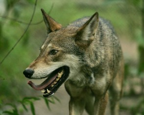 Captive red wolf (Canis rufus).
