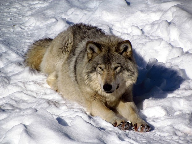 Captive eastern Canadian wolf (Canis lycaon) in Parc Omega, Quebec.