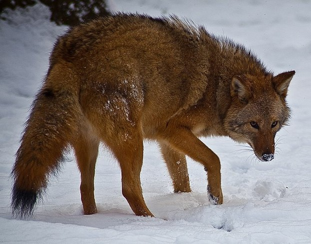 An eastern coyote, or coywolf: bigger than a western coyote, but smaller than a wolf.
