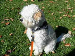 Lhasa-Poo, a mix of Lhasa Apso and Poodle.