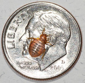 An Actual Bed Bug When Placed On A Dime