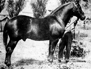 Canadian stallion Beauport de Cap Rouge. Note that his tail has been docked, as was the custom for some draught horses.