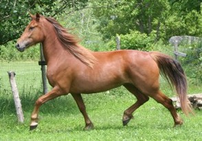 Tremcel Yacharie Mélodie-Rose, a chestnut Canadian mare bred by Marcel Tremblay, owned by Marcelle Marcotte.