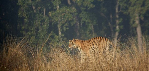 Male Tiger Kanha