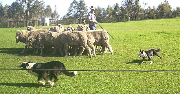 Border Collie and Kelpie competing in a sheepdog trial in Australia.