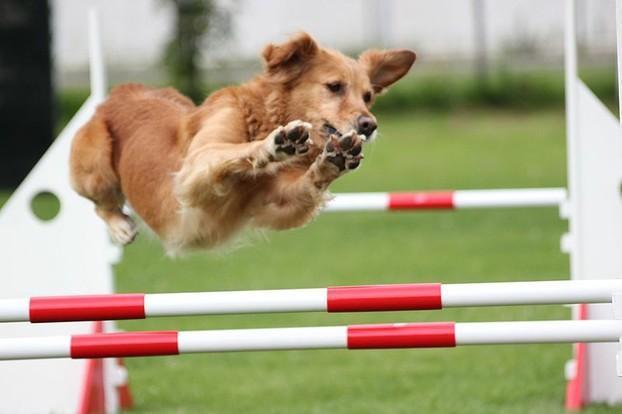 A Golden Retriever clears a jump in an agility trial.