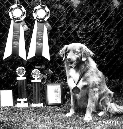 Nova Scotia Duck Tolling Retriever Ch. Rosewood Air Marshall CDX WC TT with his obedience awards.