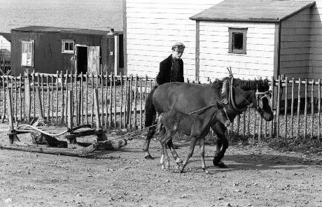 A Newfoundland Pony mare and foal in the village of Lamaline, Aug./Sept. 1970